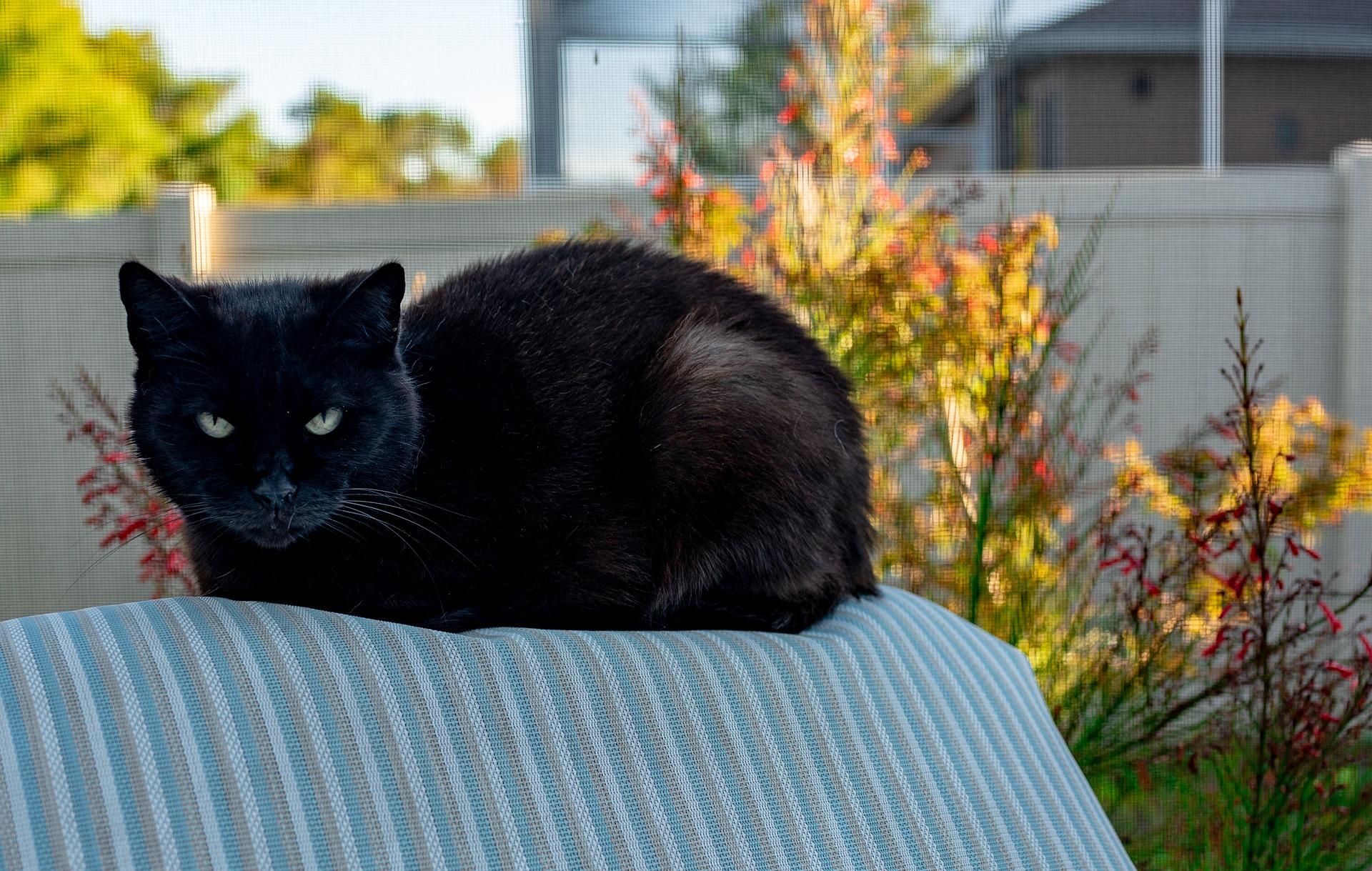 black cat - Testosterone stress
