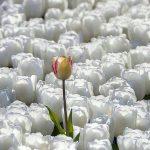 Selbstakzeptanz gelbe tulpe zwischen weißen tulpen
