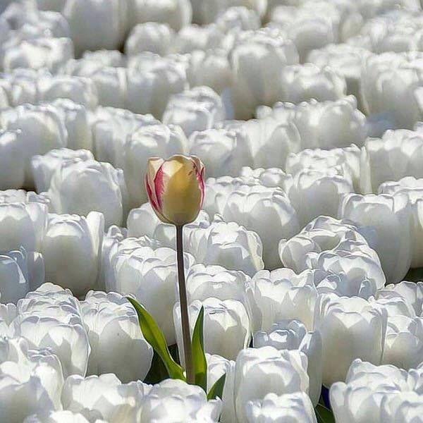 gelbe tulpe zwischen weißen tulpen - Gelegenheitssex und psychische Gesundheit